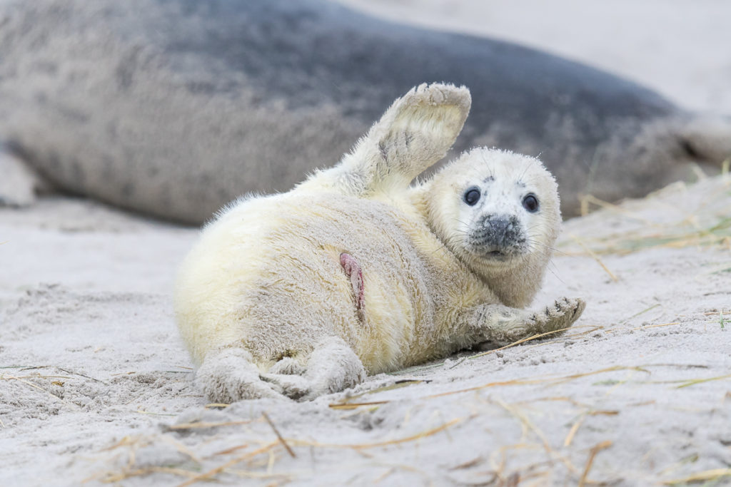 Fotoreise – Helgoland – Kegelrobben und Seehunde – 10. bis 14. Dezember 2018