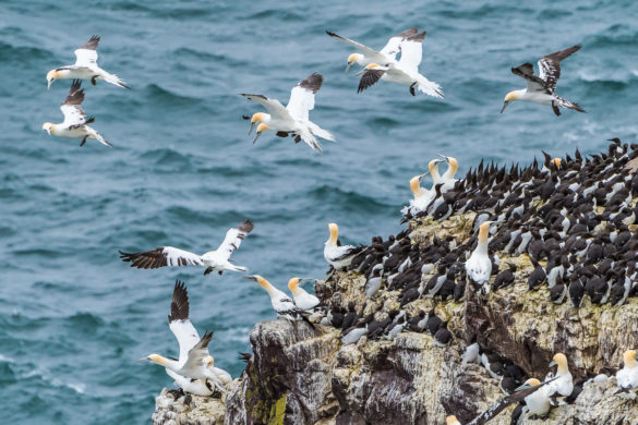 Fotoreise – Seevögel an der Britischen Ostküste – 13.-19. Juni 2021