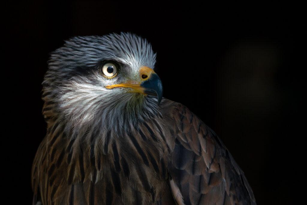 Fotoworkshop – Greifvögel, Eulen und Käuze – Zwei Termine 2021