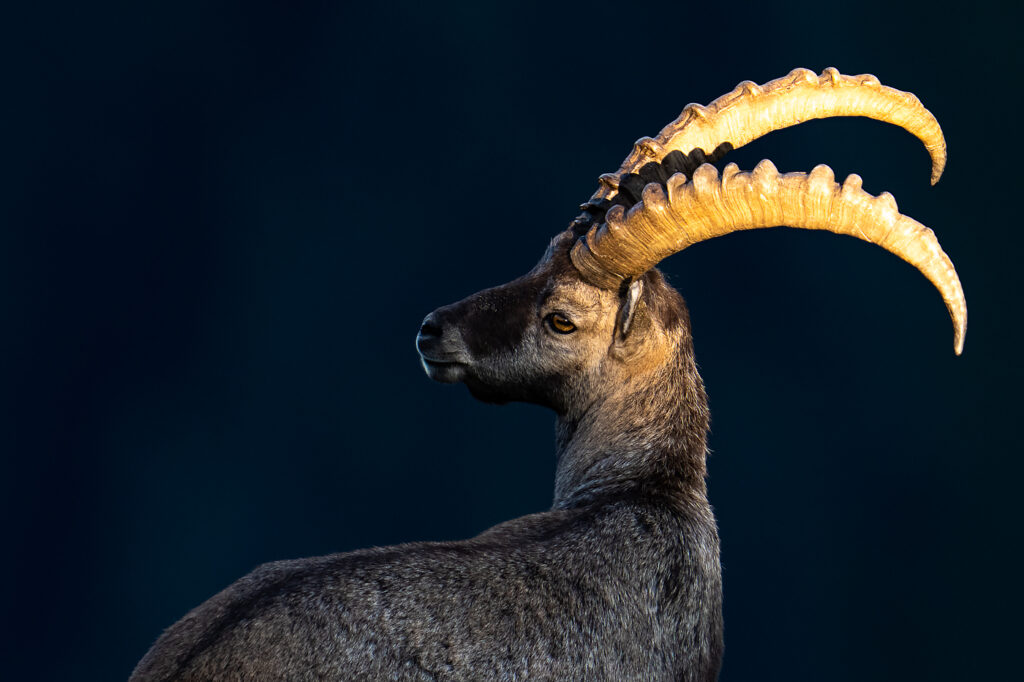 Fotoworkshop – Tierfotografie auf dem Niederhorn – 18.-19. August 2022