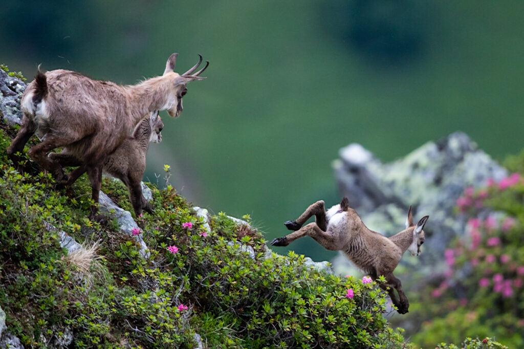 Fotoworkshop – Tierfotografie auf dem Niederhorn – 2. – 3. September 2021